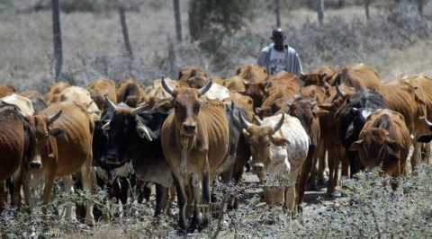 Benue gov arrest cows as herders take to flight