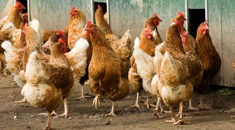 Bird Flu: FCT loses 1.5 million birds
