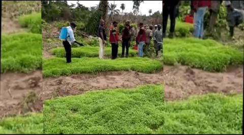 Strangers Invade Ekiti Community, Plant Cannabis