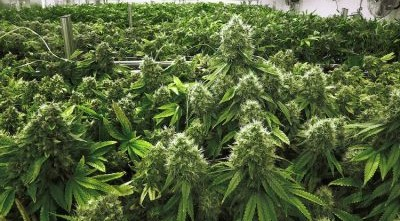 Man jailed for growing marijuana in Indonesia