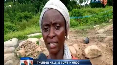 Thunder Fires Cows in Ondo Community, Killing 36 of them